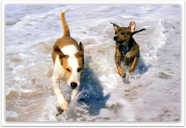 roscoe & charlie @ beach (3) (Large)