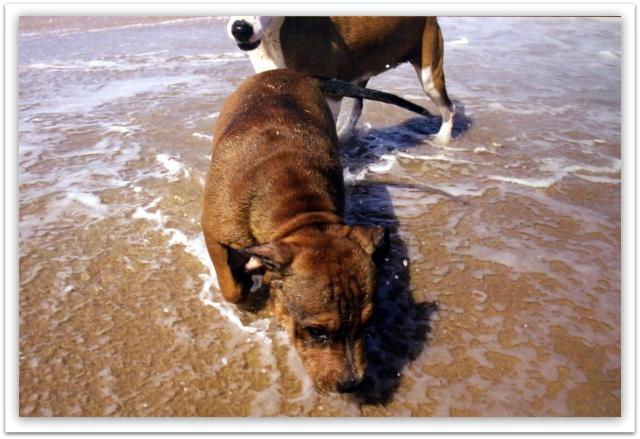 roscoe & charlie @ beach (4) (Large)