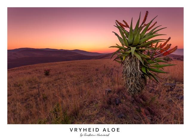 Vryheid Aloe