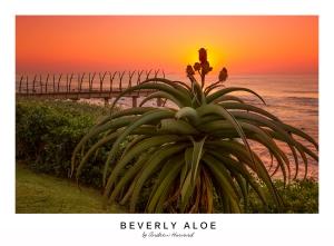 Beverly Aloe