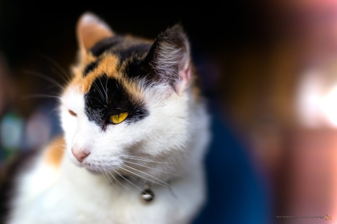 Amapondo Cat